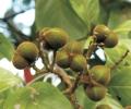 Sapindus trifoliatus